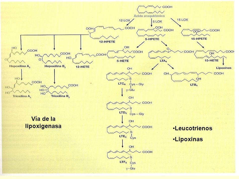 Vía de la lipoxigenasa Leucotrienos Lipoxinas