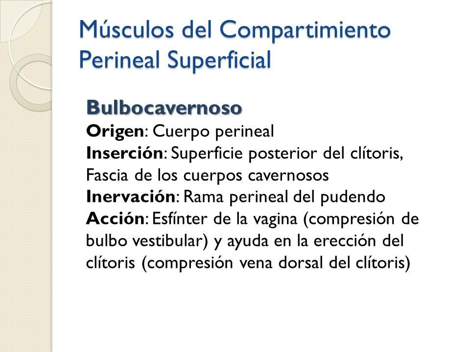 Músculos del Compartimiento Perineal Superficial