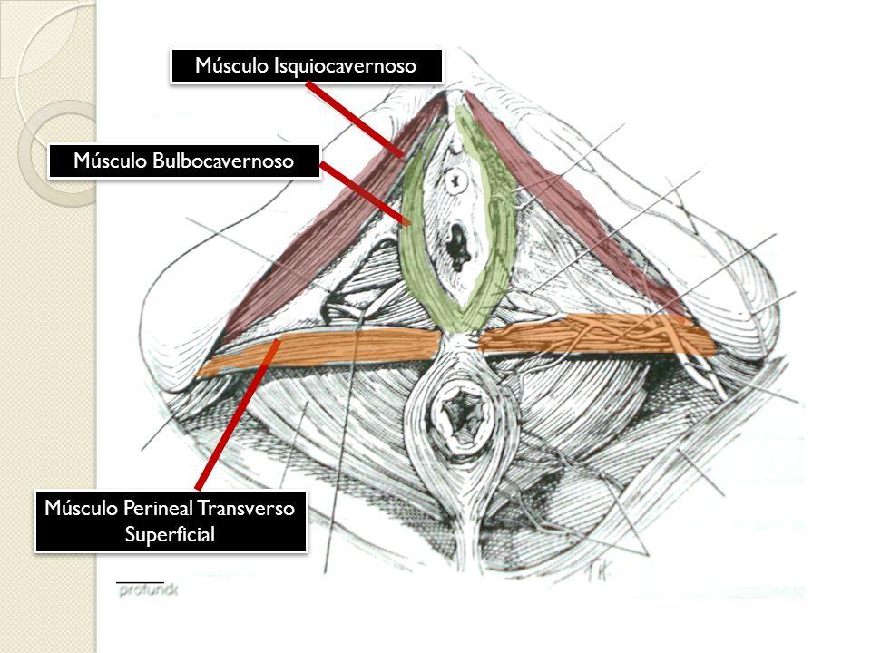 Músculo Isquiocavernoso