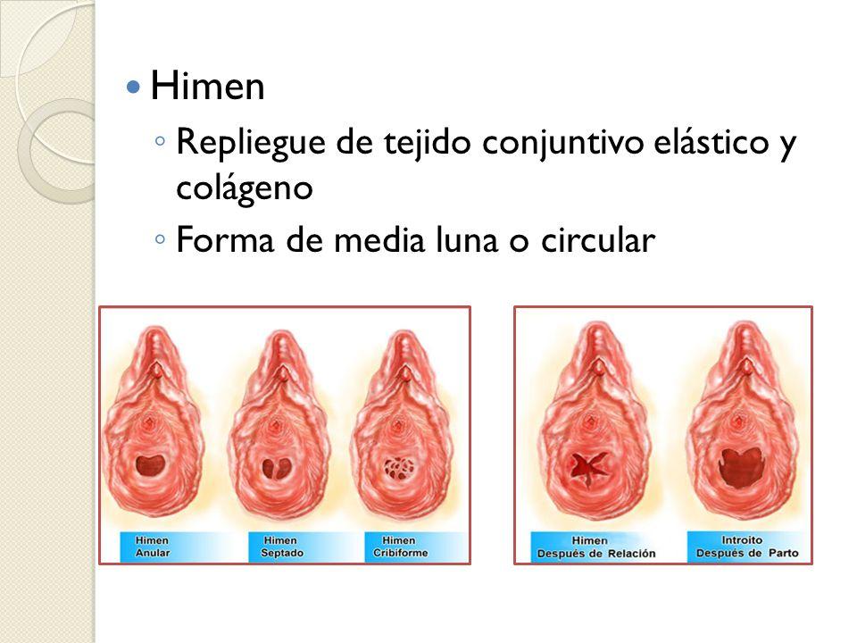 Himen Repliegue de tejido conjuntivo elástico y colágeno