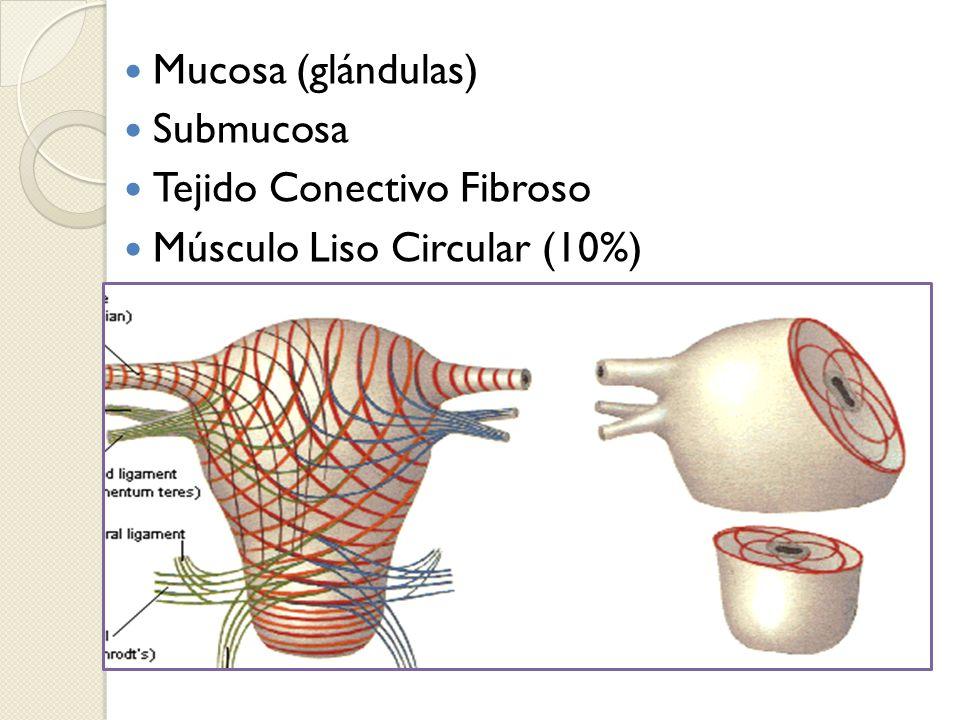 Tejido Conectivo Fibroso Músculo Liso Circular (10%)