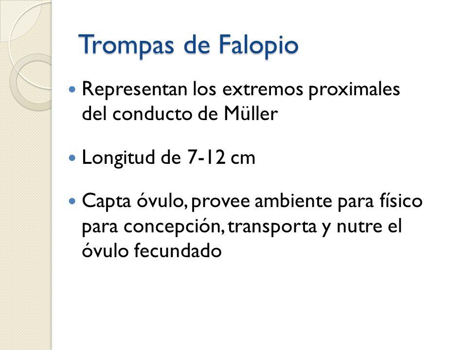 Trompas de Falopio Representan los extremos proximales del conducto de Müller. Longitud de 7-12 cm.