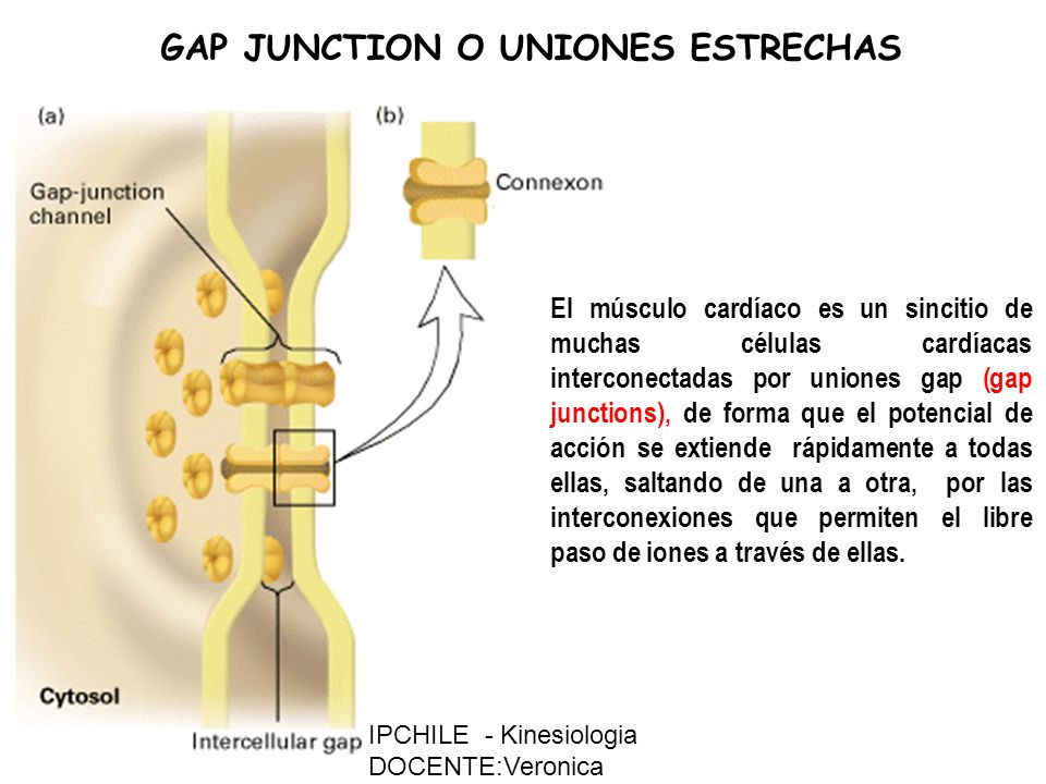 GAP JUNCTION O UNIONES ESTRECHAS