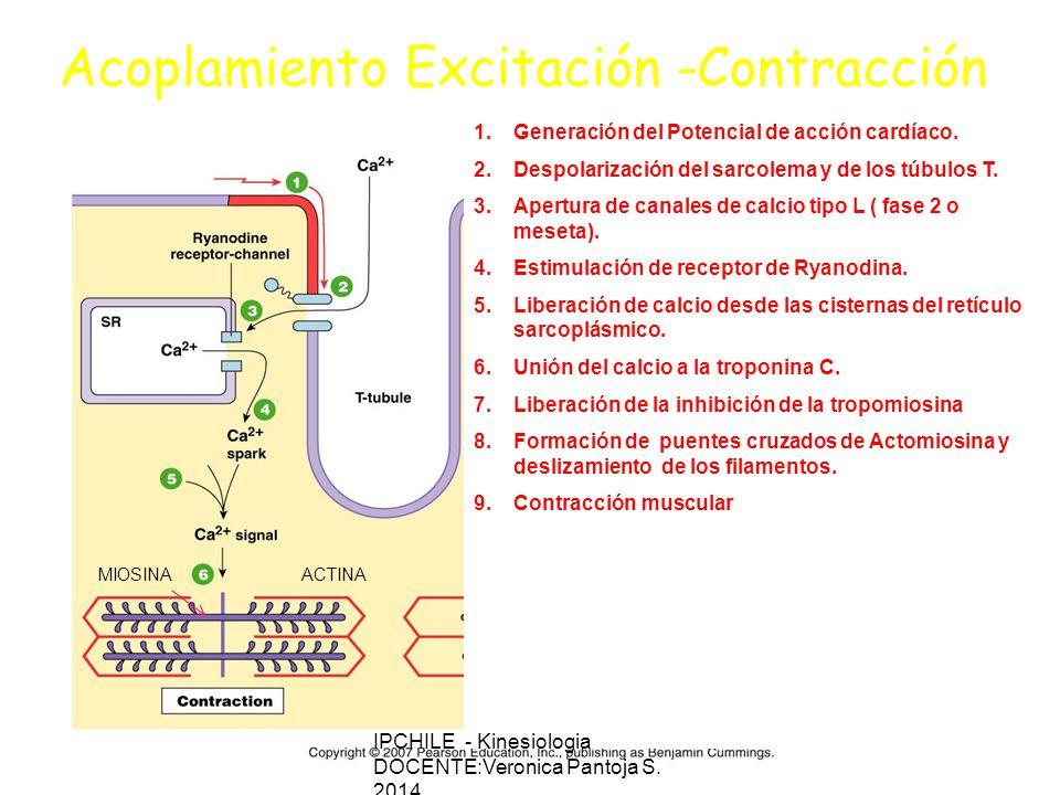 Acoplamiento Excitación -Contracción
