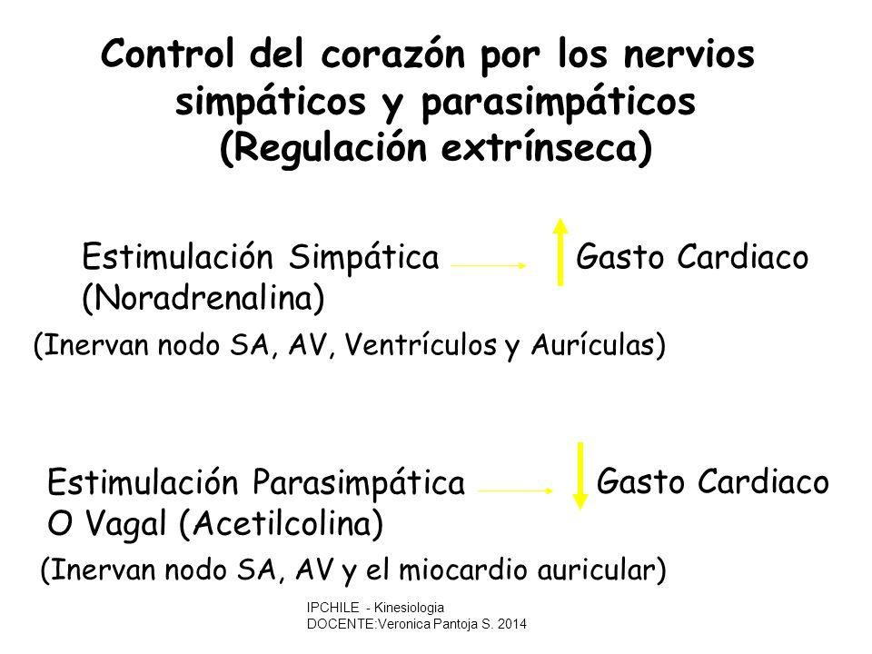 Control del corazón por los nervios simpáticos y parasimpáticos