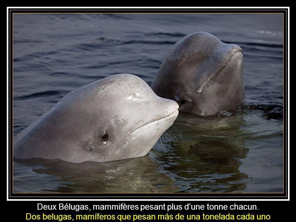 Deux Bélugas, mammifères pesant plus d'une tonne chacun.