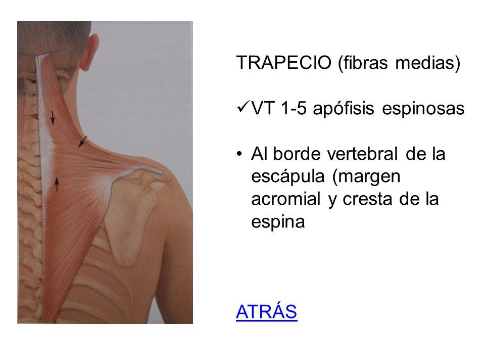TRAPECIO (fibras medias)