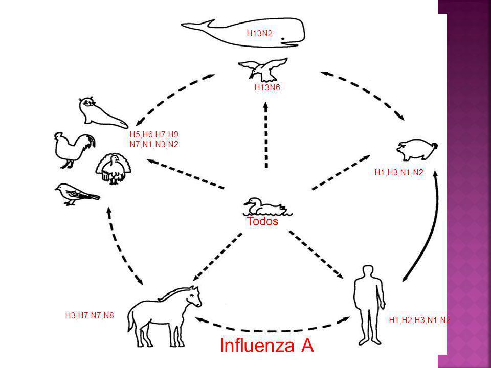 Influenza A Todos H13N2 H13N6 H5,H6,H7,H9 N7,N1,N3,N2 H1,H3,N1,N2 47-3