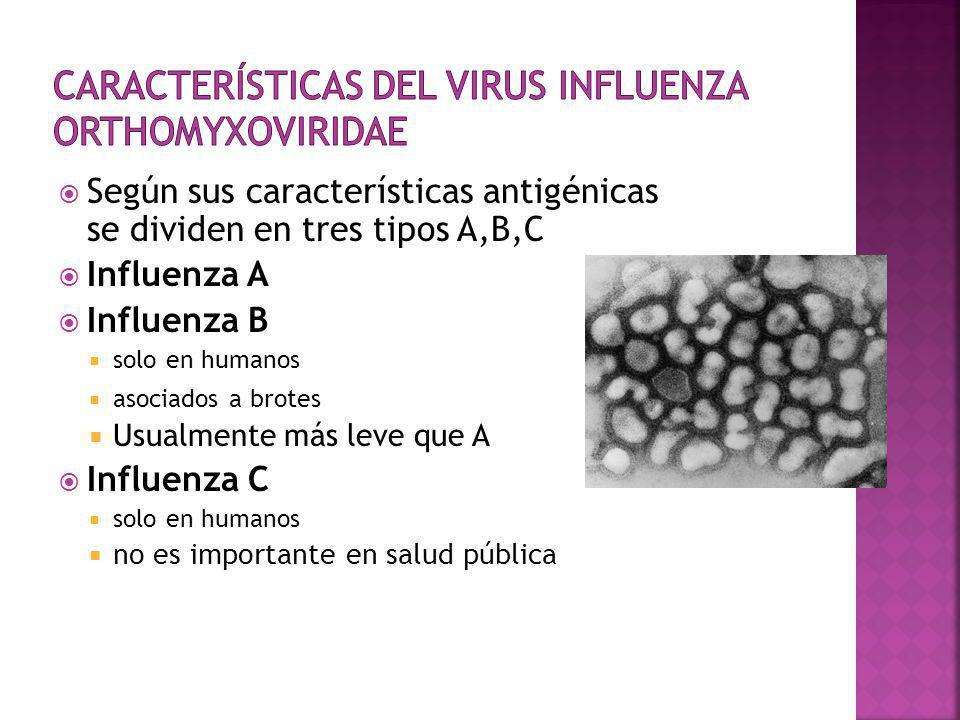 Características del Virus Influenza Orthomyxoviridae