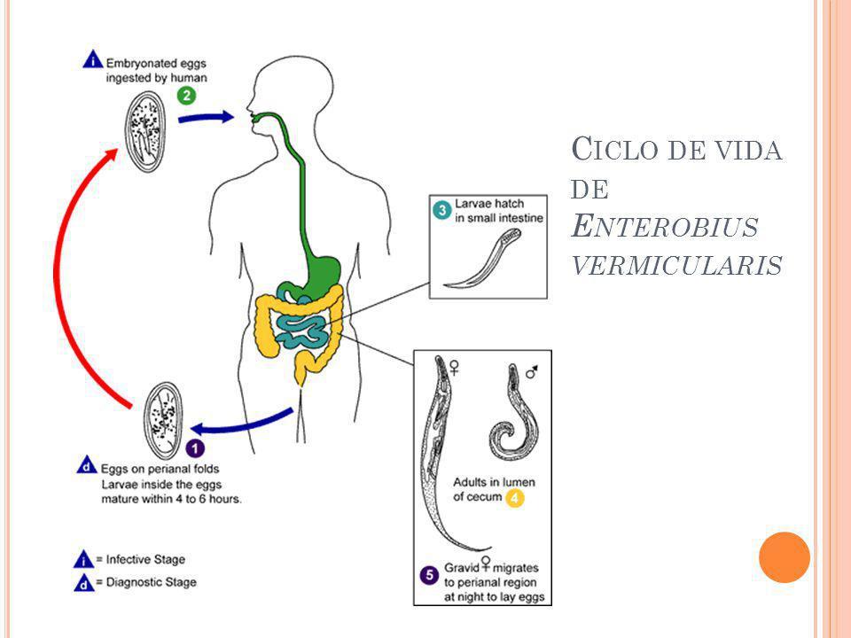 Ciclo de vida de Enterobius vermicularis