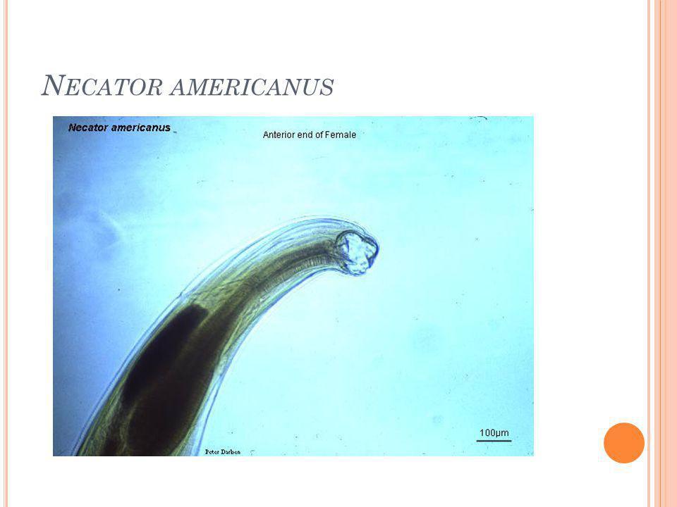 Necator americanus