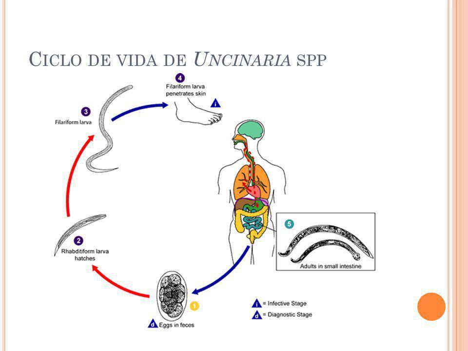 Ciclo de vida de Uncinaria spp