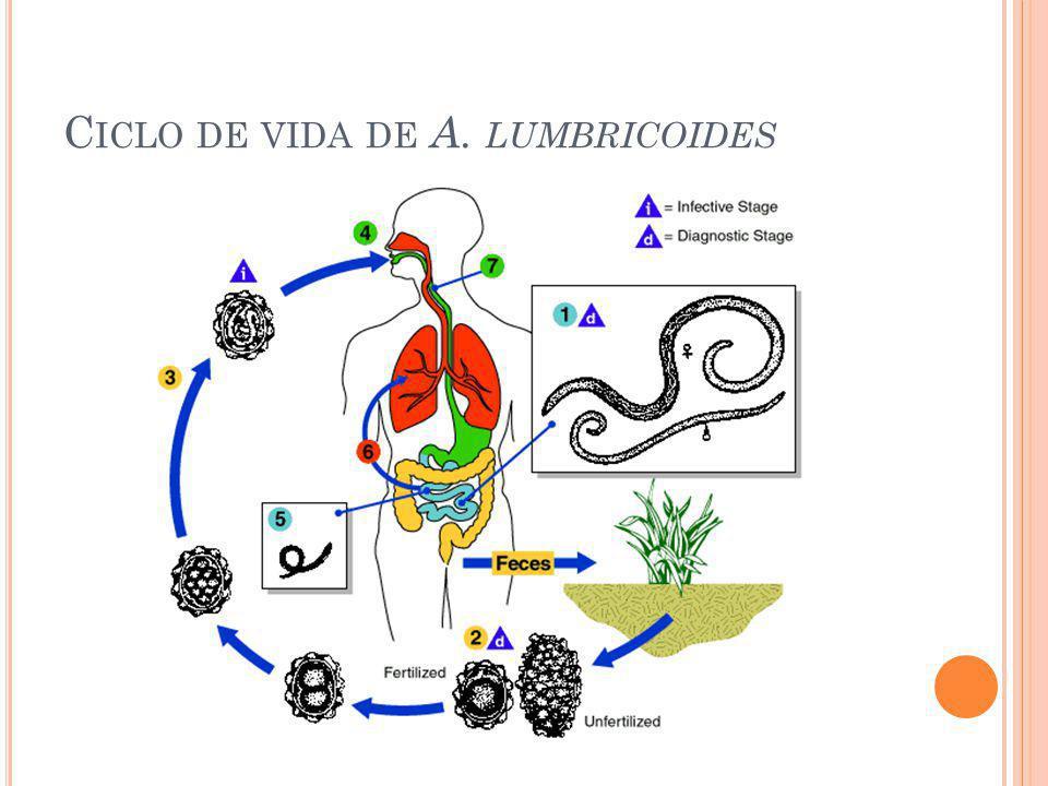 Ciclo de vida de A. lumbricoides