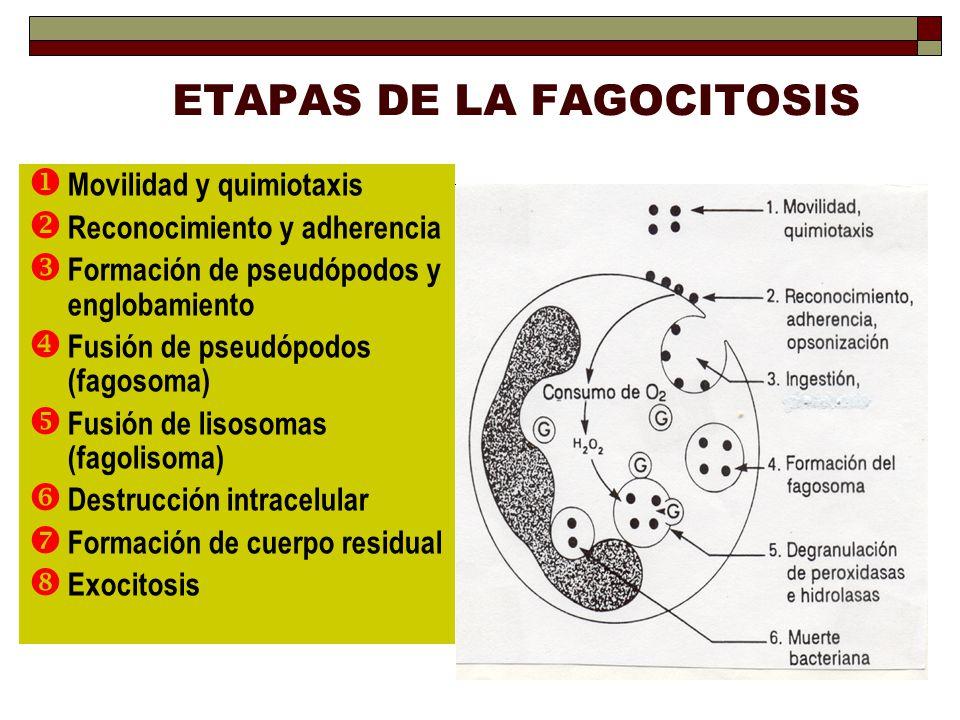 ETAPAS DE LA FAGOCITOSIS