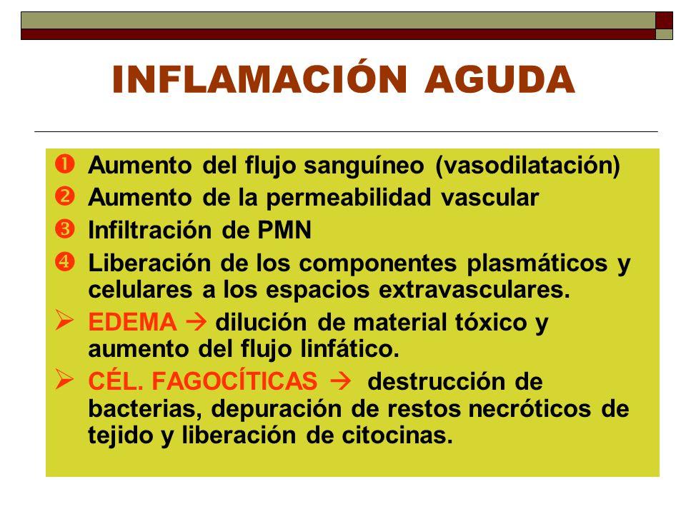 INFLAMACIÓN AGUDA Aumento del flujo sanguíneo (vasodilatación)
