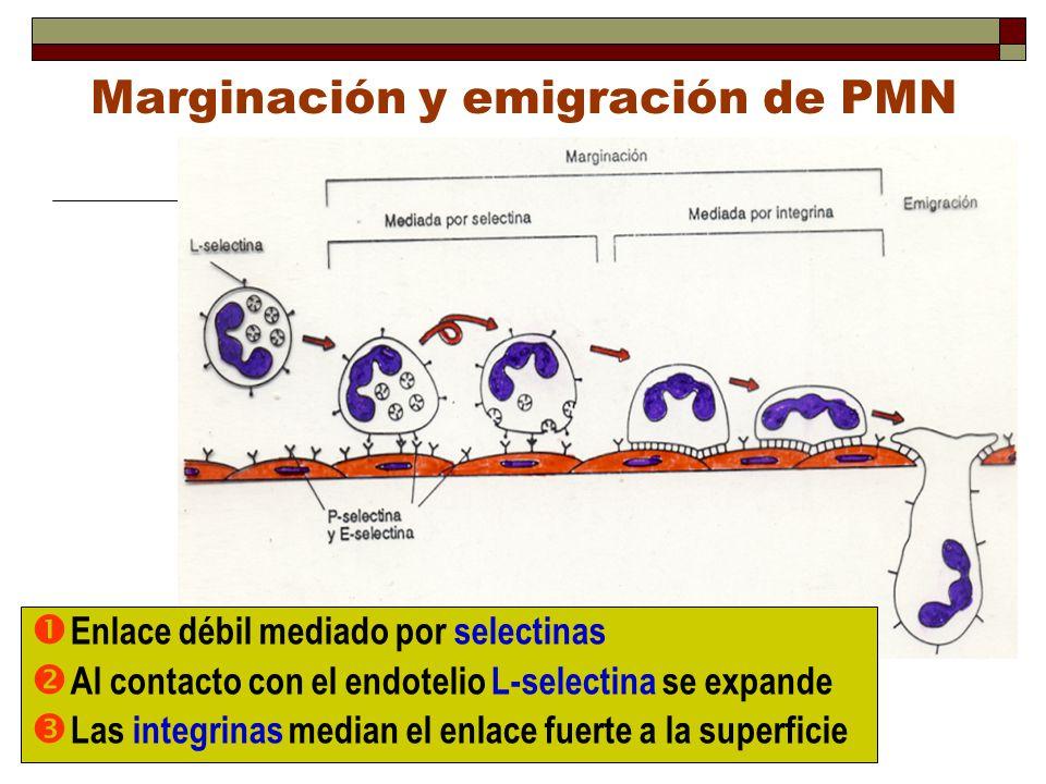 Marginación y emigración de PMN