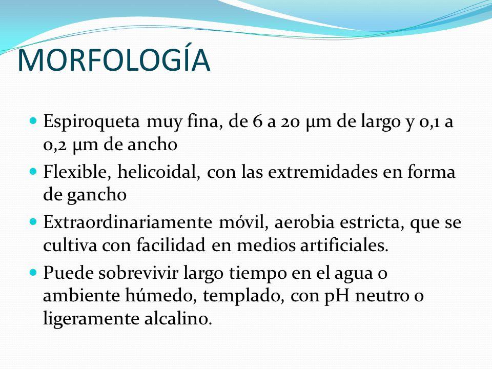 MORFOLOGÍA Espiroqueta muy fina, de 6 a 20 µm de largo y 0,1 a 0,2 µm de ancho. Flexible, helicoidal, con las extremidades en forma de gancho.