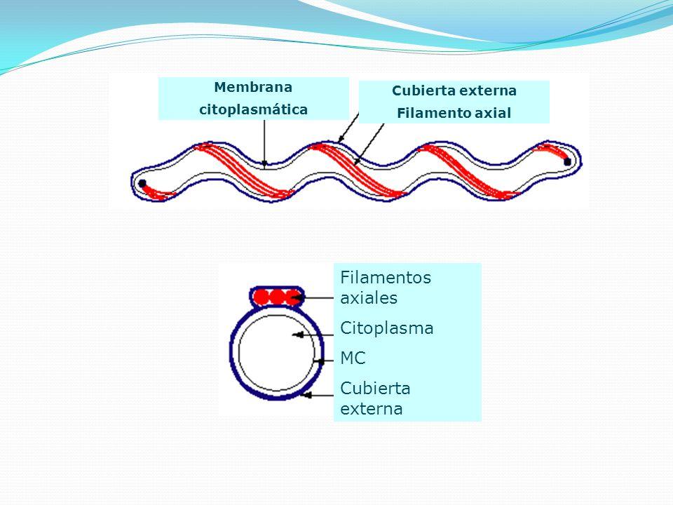 Filamentos axiales Citoplasma MC Cubierta externa Membrana