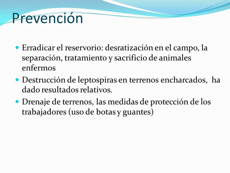 Prevención Erradicar el reservorio: desratización en el campo, la separación, tratamiento y sacrificio de animales enfermos.