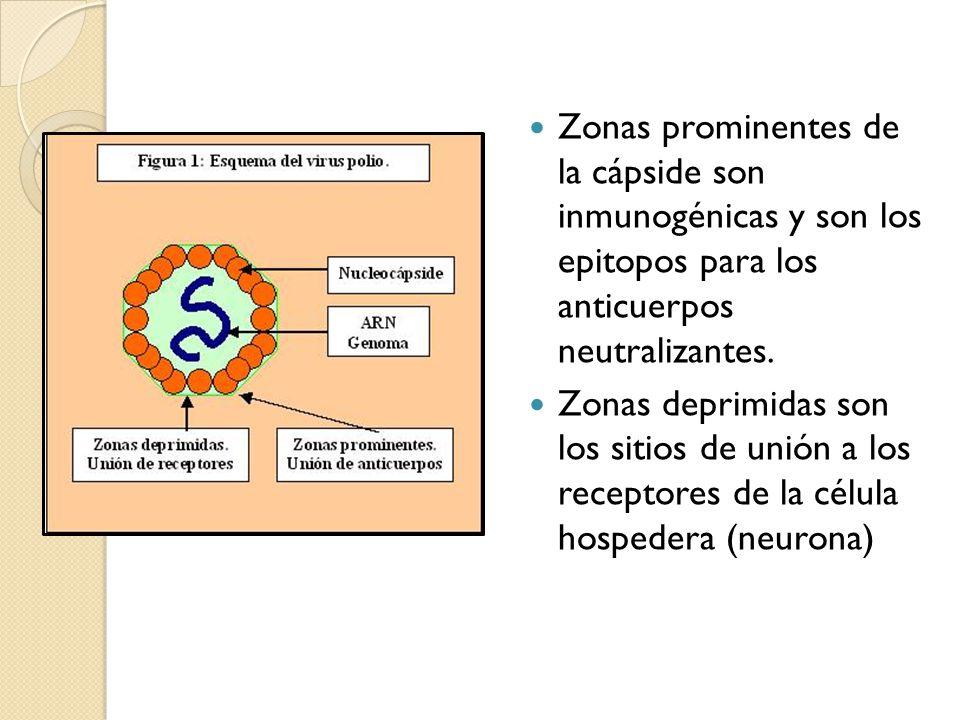 Zonas prominentes de la cápside son inmunogénicas y son los epitopos para los anticuerpos neutralizantes.