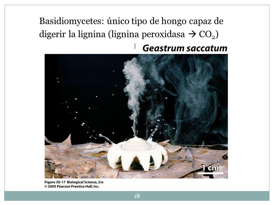 Basidiomycetes: único tipo de hongo capaz de