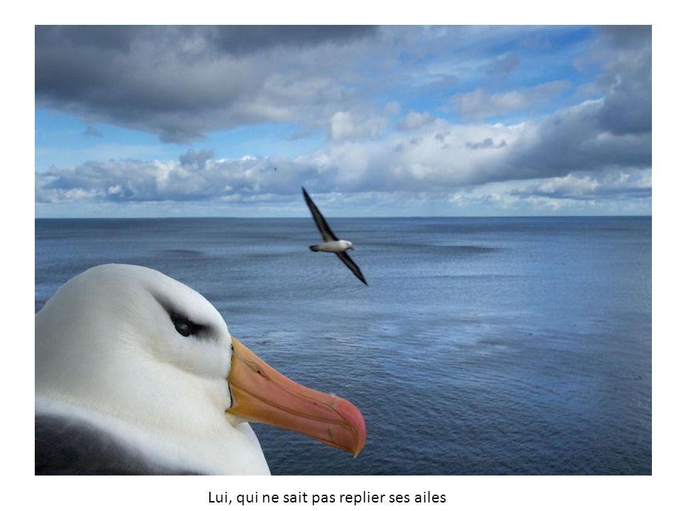 Lui, qui ne sait pas replier ses ailes