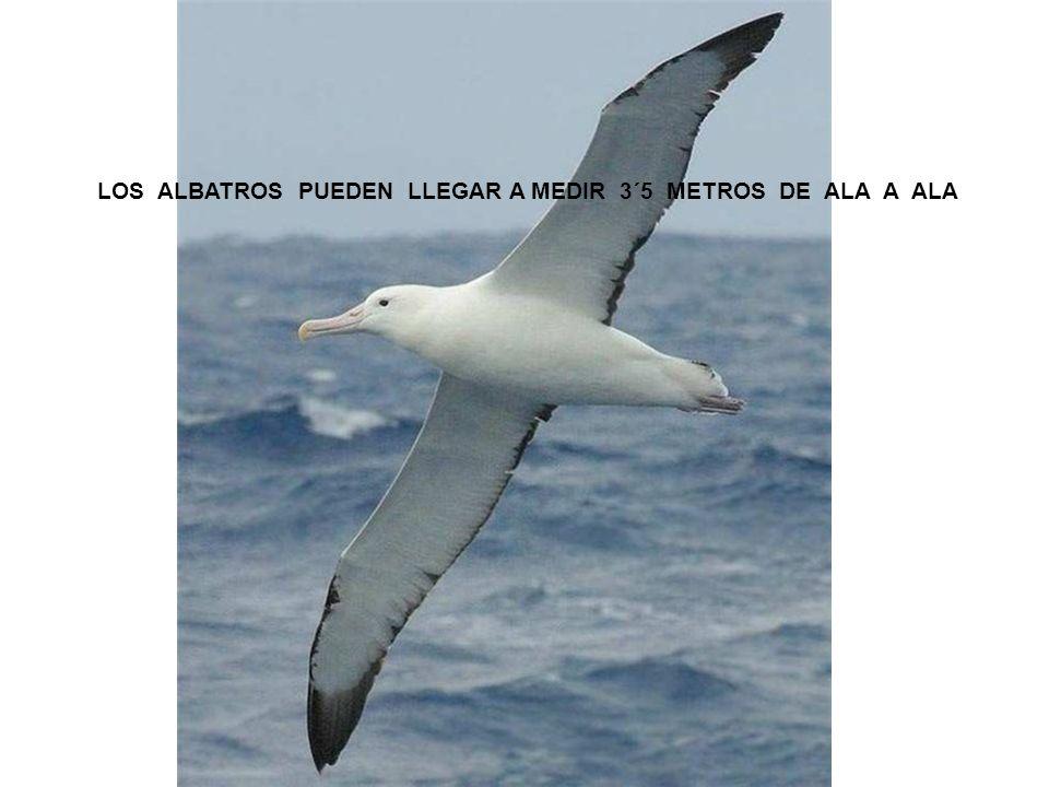 LOS ALBATROS PUEDEN LLEGAR A MEDIR 3´5 METROS DE ALA A ALA