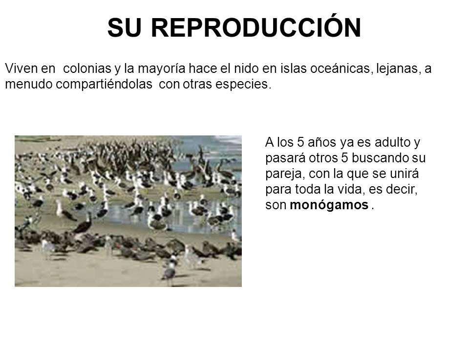 SU REPRODUCCIÓN Viven en colonias y la mayoría hace el nido en islas oceánicas, lejanas, a menudo compartiéndolas con otras especies.