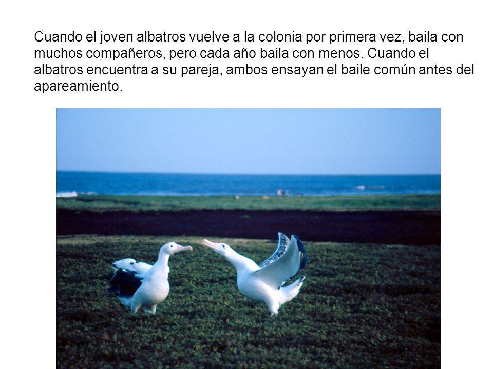 Cuando el joven albatros vuelve a la colonia por primera vez, baila con muchos compañeros, pero cada año baila con menos.
