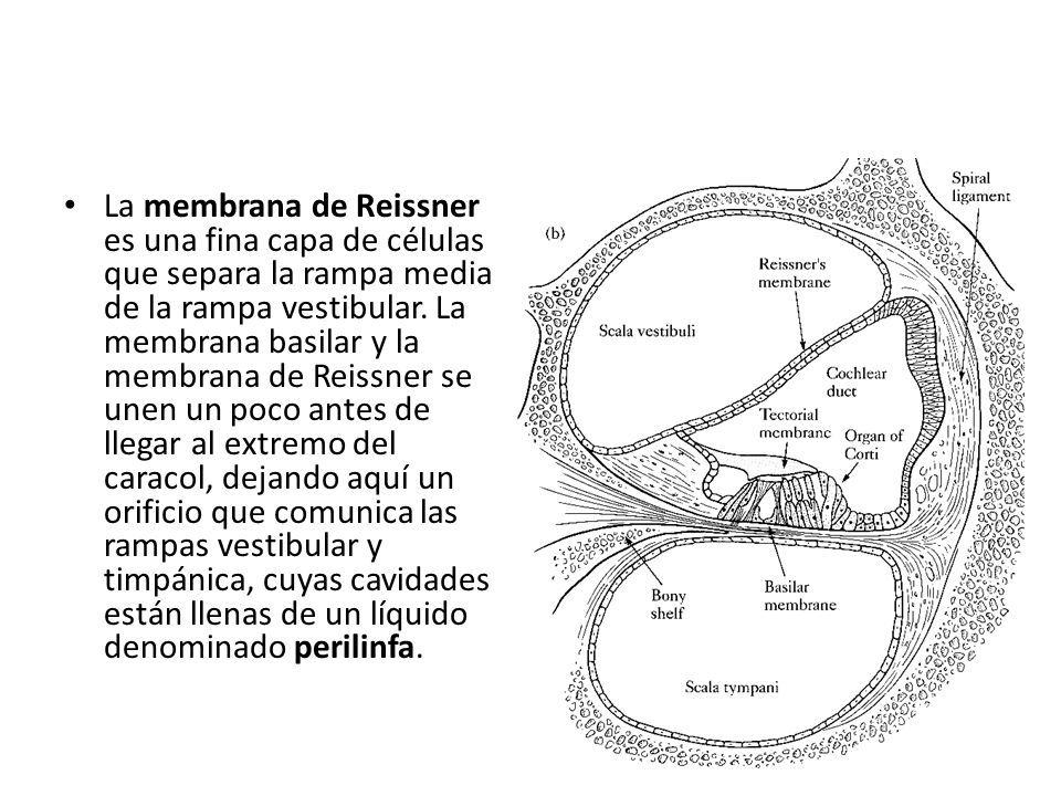 La membrana de Reissner es una fina capa de células que separa la rampa media de la rampa vestibular.