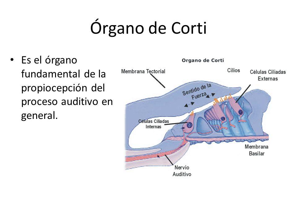 Órgano de Corti Es el órgano fundamental de la propiocepción del proceso auditivo en general.