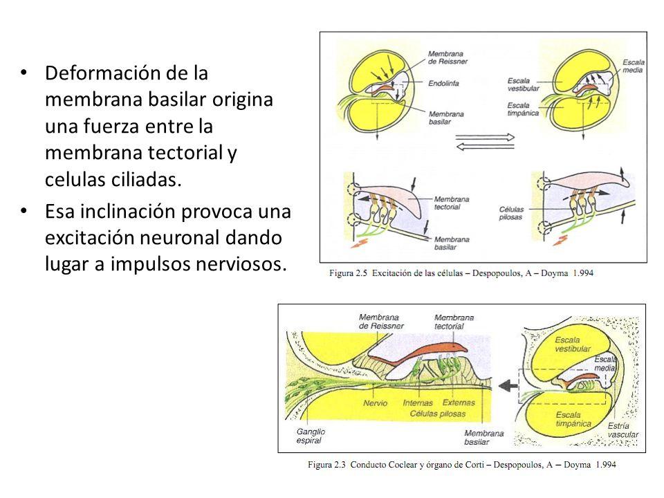 Deformación de la membrana basilar origina una fuerza entre la membrana tectorial y celulas ciliadas.
