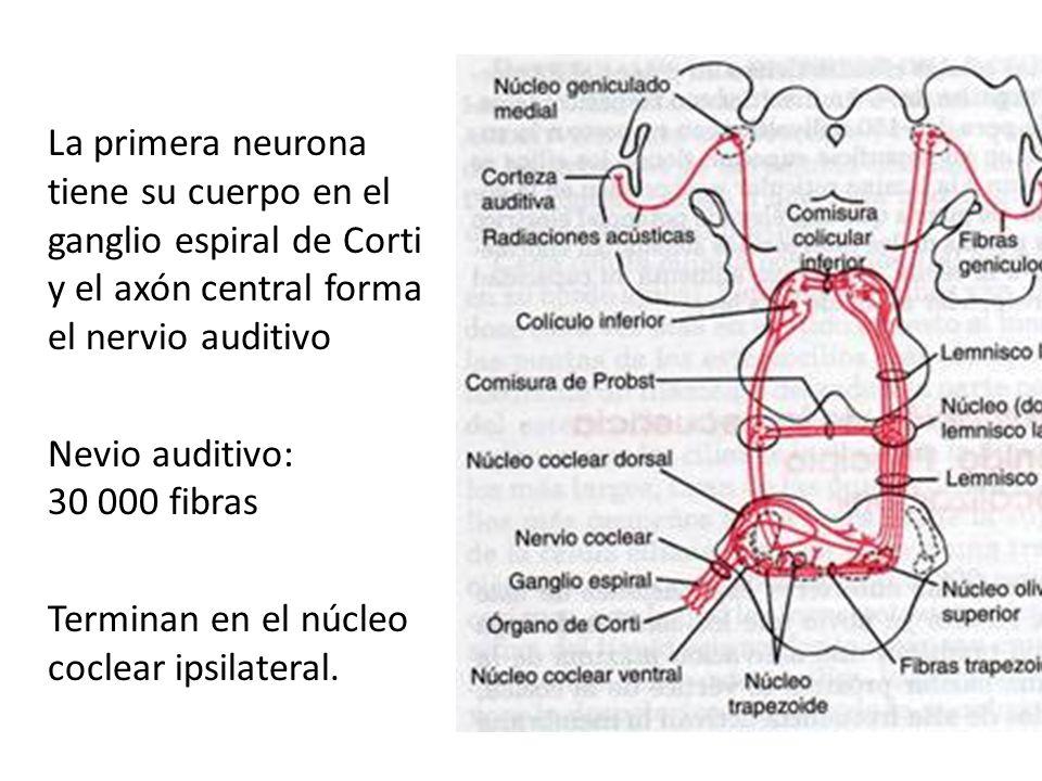La primera neurona tiene su cuerpo en el ganglio espiral de Corti y el axón central forma el nervio auditivo