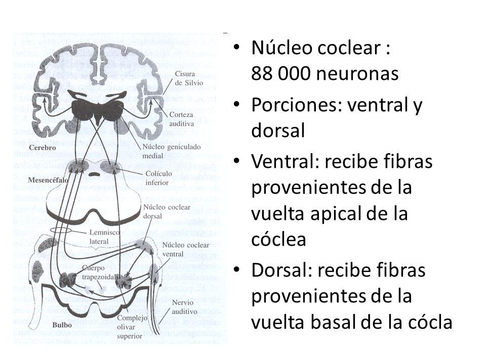 Núcleo coclear : 88 000 neuronas