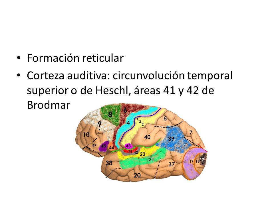 Formación reticular Corteza auditiva: circunvolución temporal superior o de Heschl, áreas 41 y 42 de Brodmann.