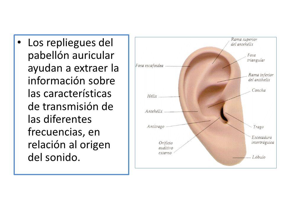 Los repliegues del pabellón auricular ayudan a extraer la información sobre las características de transmisión de las diferentes frecuencias, en relación al origen del sonido.