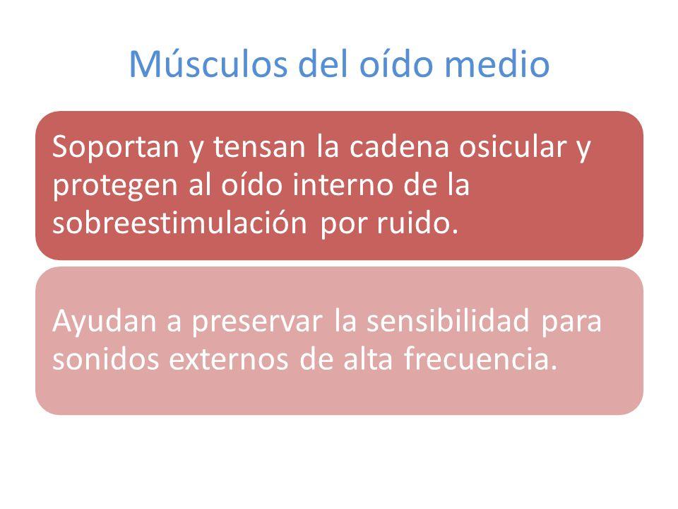 Músculos del oído medio
