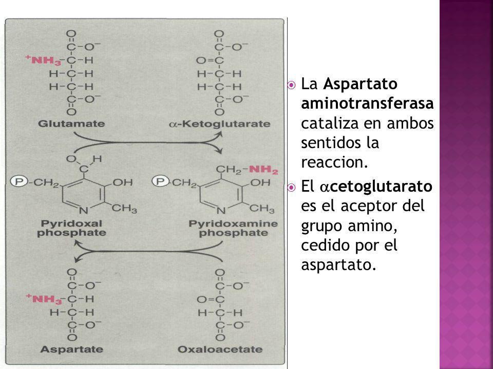 La Aspartato aminotransferasa cataliza en ambos sentidos la reaccion.