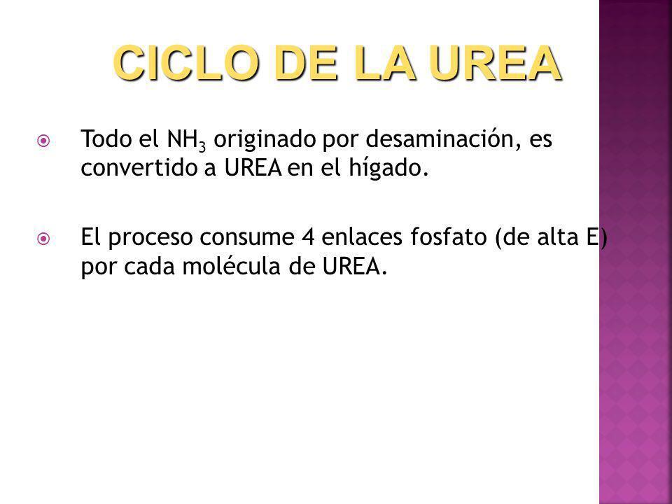 CICLO DE LA UREA Todo el NH3 originado por desaminación, es convertido a UREA en el hígado.