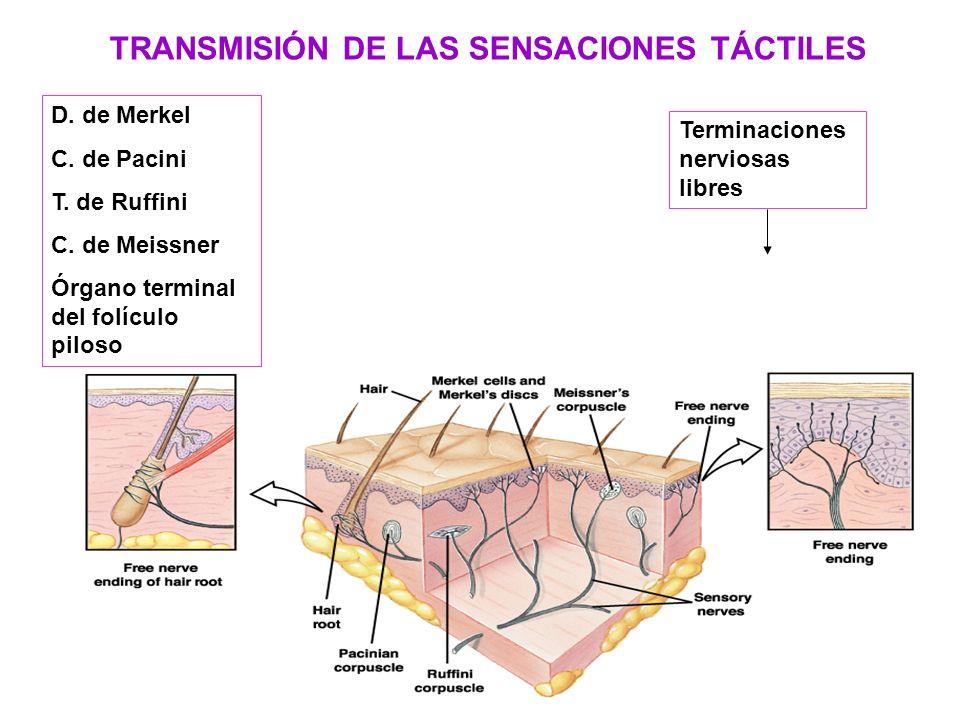 TRANSMISIÓN DE LAS SENSACIONES TÁCTILES