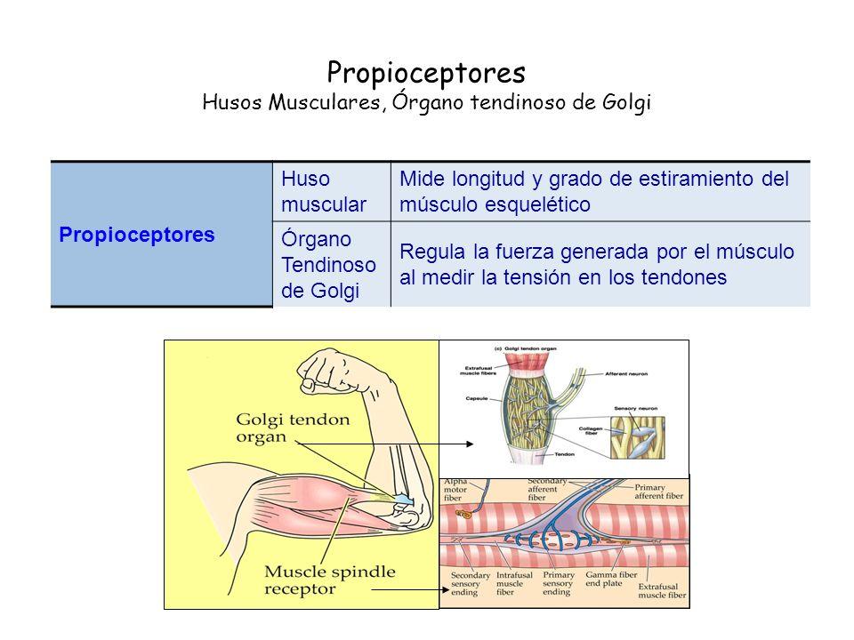 Propioceptores Husos Musculares, Órgano tendinoso de Golgi