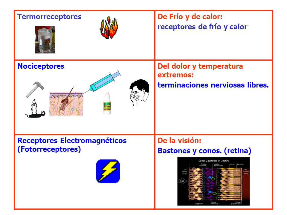 TermorreceptoresDe Frío y de calor: receptores de frío y calor. Nociceptores. Del dolor y temperatura extremos: