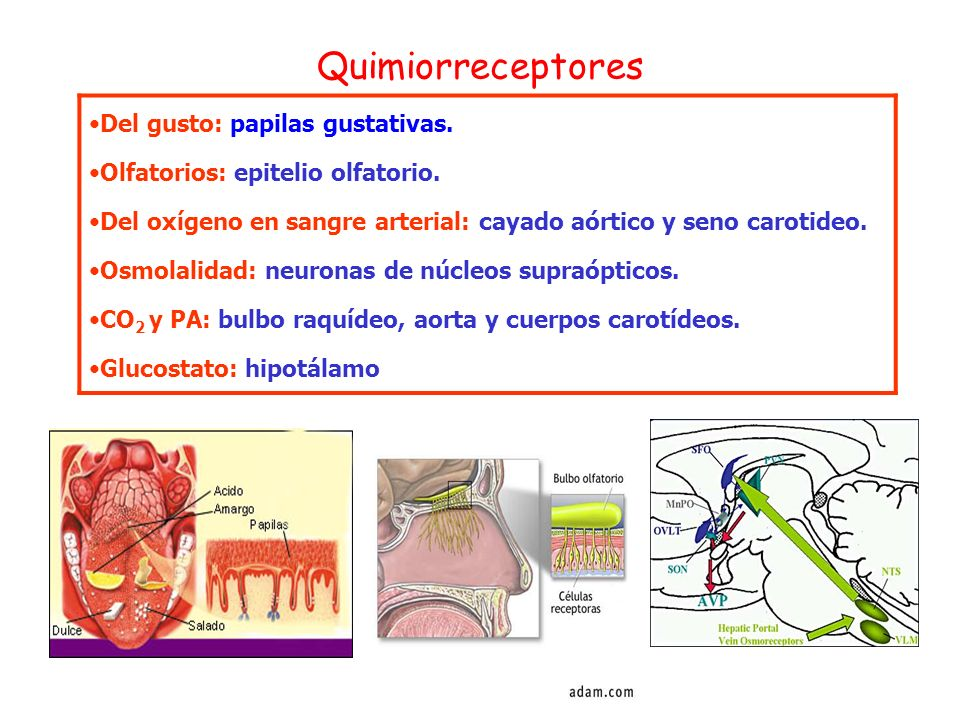 Quimiorreceptores Del gusto: papilas gustativas.
