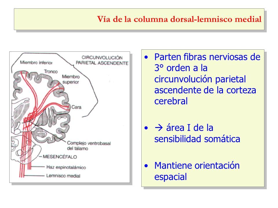 Vía de la columna dorsal-lemnisco medial