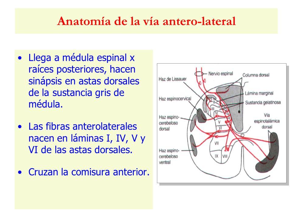 Anatomía de la vía antero-lateral