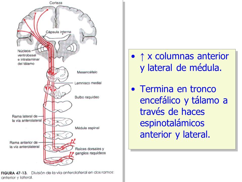 ↑ x columnas anterior y lateral de médula.