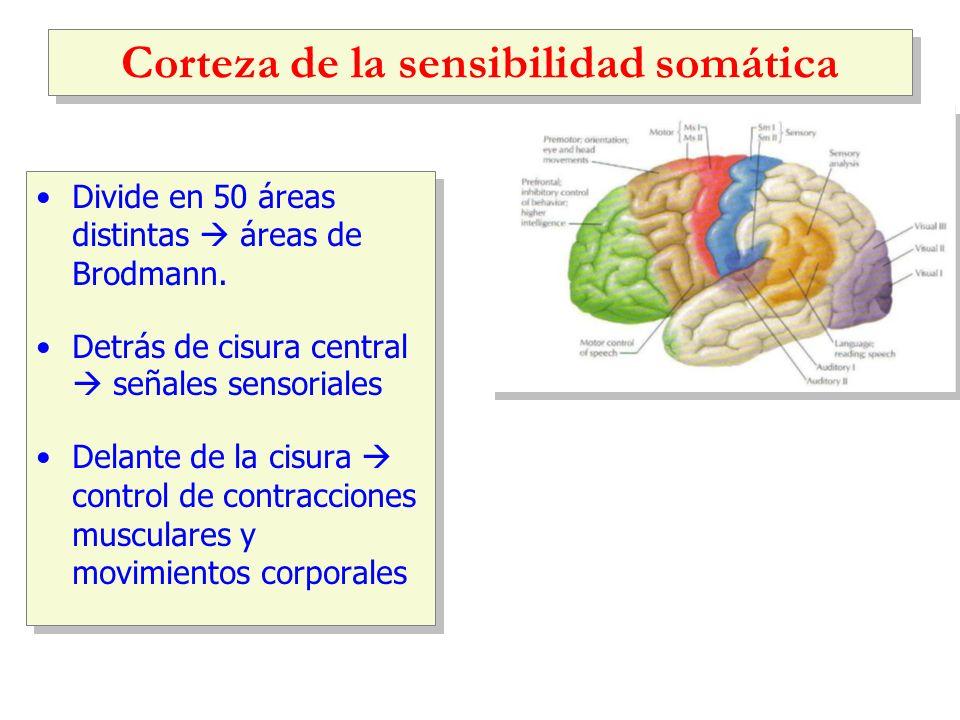 Corteza de la sensibilidad somática