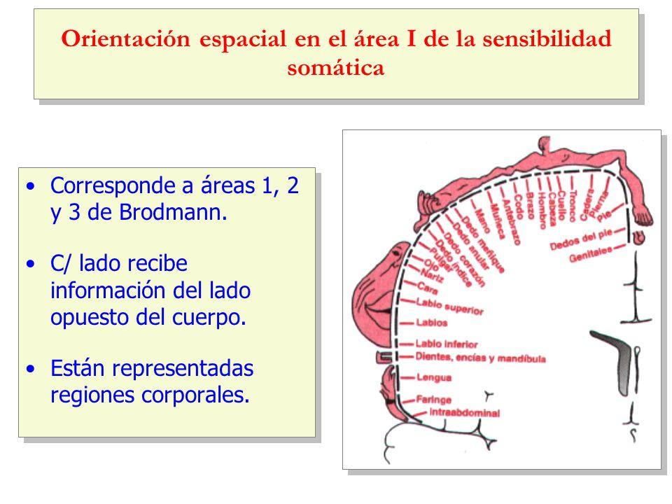 Orientación espacial en el área I de la sensibilidad somática