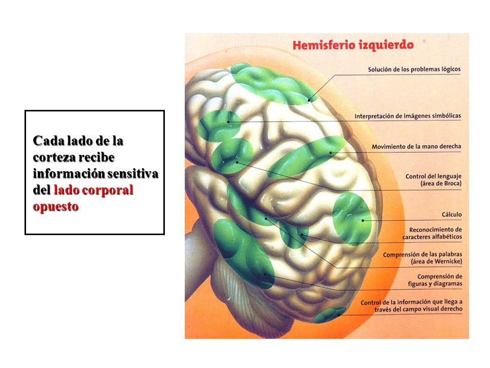 Cada lado de la corteza recibe información sensitiva del lado corporal opuesto
