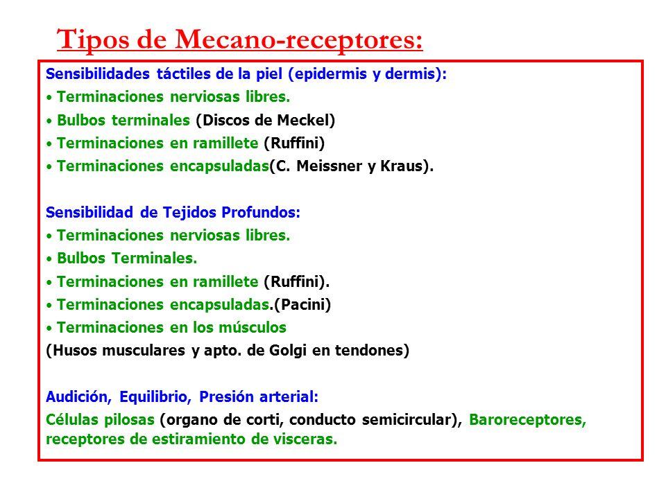 Tipos de Mecano-receptores: